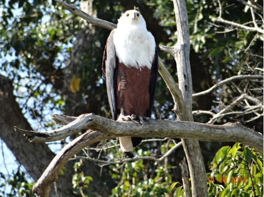 Fish Eagle on our 2 Day Big5 Durban Safari Tour to Hluhluwe Umfolozi Game reserve and St lucia Isimangeliso Wetland park 13th to 14th June 2014