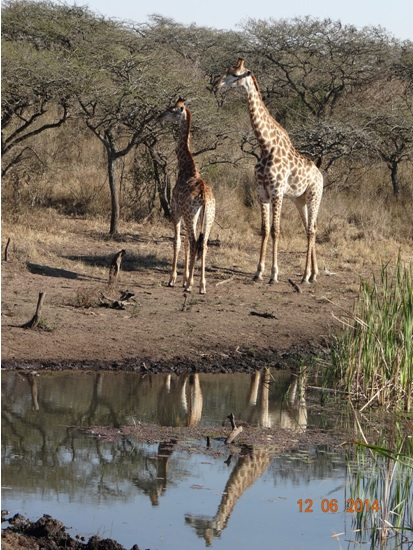 Giraffe at a water hole on our Durban Day Safari Tour to Tala and Phezulu in the Valley of 1000 Hills 12th June 2014