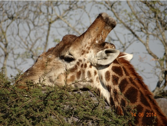 Giraffe male on our 2 Day Big5 Durban Safari Tour to Hluhluwe Umfolozi Game reserve and St lucia Isimangeliso Wetland park 13th to 14th June 2014
