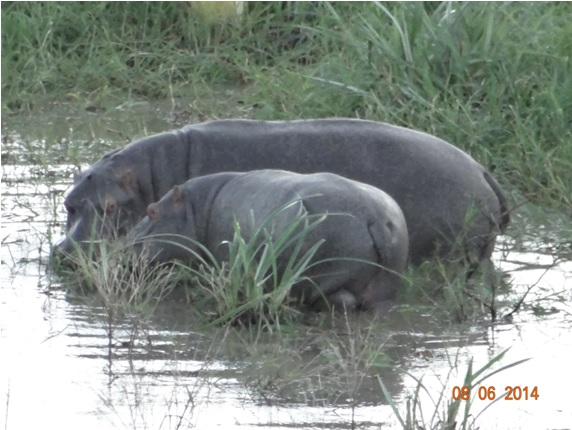 Hippos after lunch on our Hluhluwe Umfolozi Big 5 and 3 Day Safari Tour from Durban