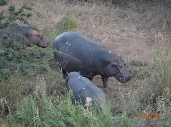 Hippos out the water on our 2 Day Big5 Durban Safari Tour to Hluhluwe Umfolozi Game reserve and St lucia Isimangeliso Wetland park 13th to 14th June 2014