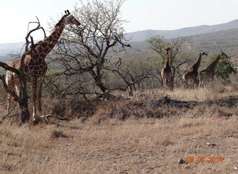 Journey of Giraffe on our Hluhluwe Umfolozi Big 5 and 3 Day Safari Tour from Durban