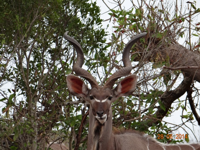 Kudu Bull on our Durban Big 5 Private Day Safari Tour to Hluhluwe Umfolozi Big 5 Game reserve 28th June 2014