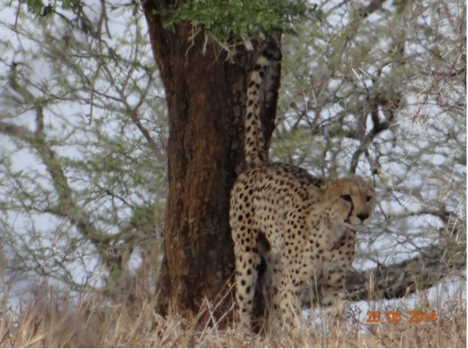 Male Cheetah Scent marking on our Durban Big 5 Private Day Safari Tour to Hluhluwe Umfolozi Big 5 Game reserve 28th June 2014