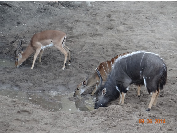 Mphafa hide Nyalas and Impala drink water on our Hluhluwe Umfolozi Big 5 and 3 Day Safari Tour from Durban
