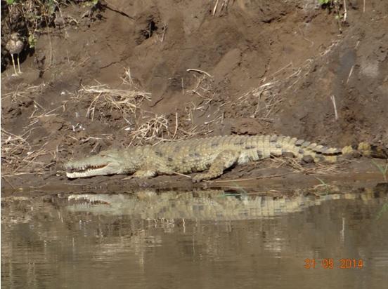 Nile Crocodile on our Hluhluwe Umfolozi Day Safari Tour from Durban 31 May 2014