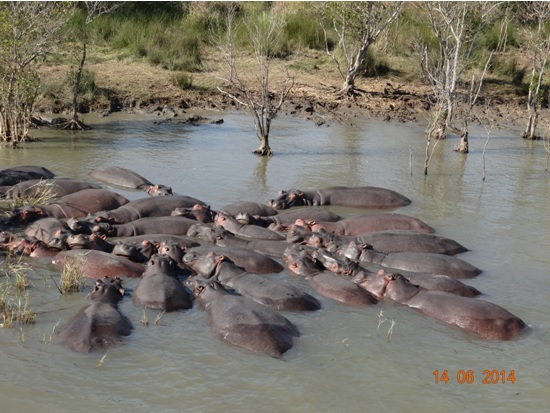 Pod of Hippos on our 2 Day Big5 Durban Safari Tour to Hluhluwe Umfolozi Game reserve and St lucia Isimangeliso Wetland park 13th to 14th June 2014