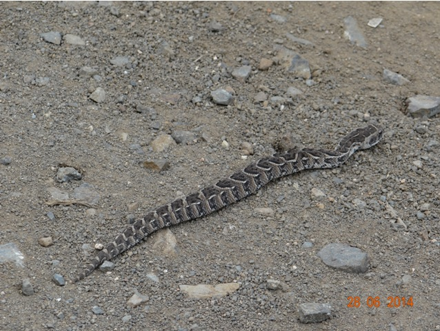 Puff Adder on our Durban Big 5 Private Day Safari Tour to Hluhluwe Umfolozi Big 5 Game reserve 28th June 2014