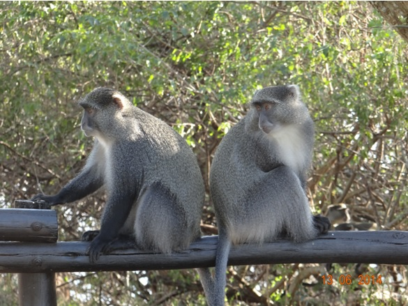 Samango Monkeys on our 2 Day Big5 Durban Safari Tour to Hluhluwe Umfolozi Game reserve and St lucia Isimangeliso Wetland park 13th to 14th June 2014