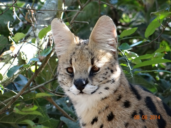 Serval on our Hluhluwe Umfolozi Big 5 and 3 Day Safari Tour from Durban
