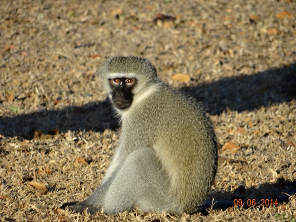 Vervet Monkey stares at me on our Hluhluwe Umfolozi Big 5 and 3 Day Safari Tour from Durban