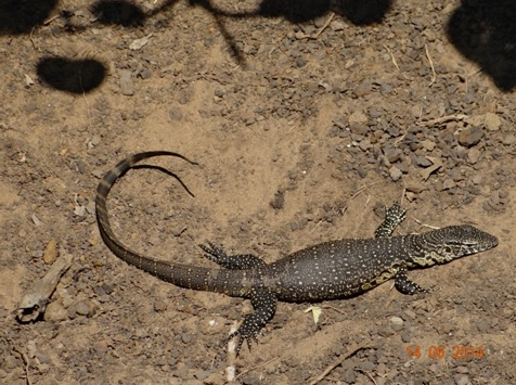 Water monitor Lizard on our 2 Day Big5 Durban Safari Tour to Hluhluwe Umfolozi Game reserve and St lucia Isimangeliso Wetland park 13th to 14th June 2014