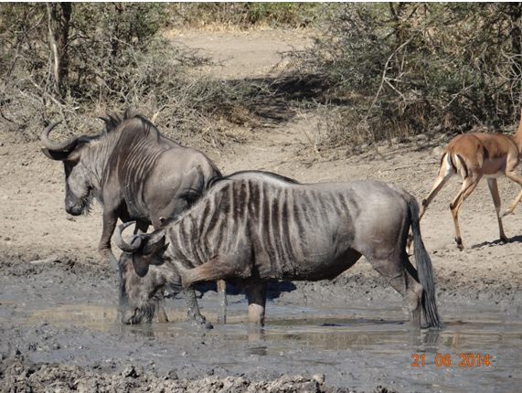 Wildebeest drinking on our Durban Big 5 Day Safari Tour to Hluhluwe Umfolozi Big 5 Game reserve 21st June 2014