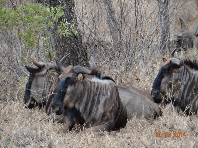 Wildebeest rest on our Durban Big 5 Private Day Safari Tour to Hluhluwe Umfolozi Big 5 Game reserve 28th June 2014