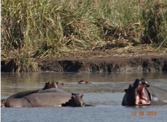 Yawning Hippo on our Durban Day Safari Tour to Tala and Phezulu in the Valley of 1000 Hills 12th June 2014