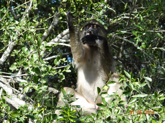 Young Baboon reaches for a fruit on our Hluhluwe Umfolozi Day Safari Tour from Durban 31 May 2014
