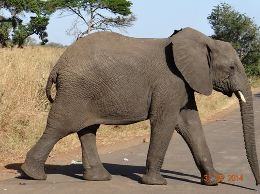 Young Bull Elephant crosses road on our Hluhluwe Umfolozi Day Safari Tour from Durban 31 May 2014