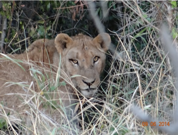 Young skinny Lion on our Hluhluwe Umfolozi Big 5 and 3 Day Safari Tour from Durban