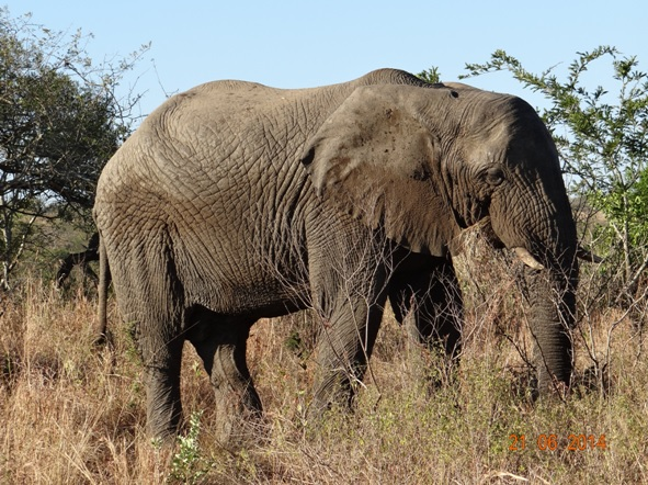 Younger Bull Elephant grazzing the grass before we exited on our Durban Big 5 Day Safari Tour to Hluhluwe Umfolozi Big 5 Game reserve 21st June 2014