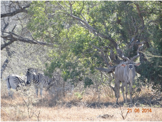 Zebra and Kudu Bull rest on our Durban Big 5 Day Safari Tour to Hluhluwe Umfolozi Big 5 Game reserve 21st June 2014