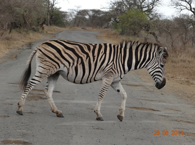 Zebra crossing road on our Durban Big 5 Private Day Safari Tour to Hluhluwe Umfolozi Big 5 Game reserve 28th June 2014