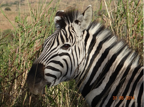 Zebra looks at us on our Hluhluwe Umfolozi Day Safari Tour from Durban 31 May 2014