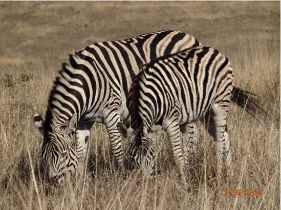 Zebra on our Durban Day Safari Tour to Tala and Phezulu in the Valley of 1000 Hills 12th June 2014
