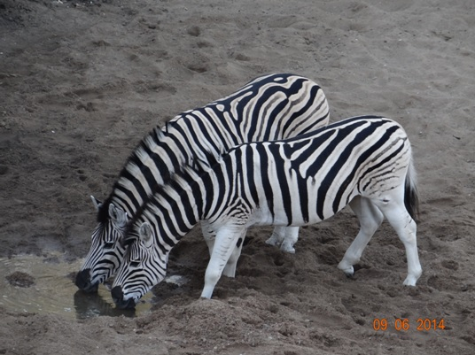 Zebras Drink at Mphafa hide on our Hluhluwe Umfolozi Big 5 and 3 Day Safari Tour from Durban