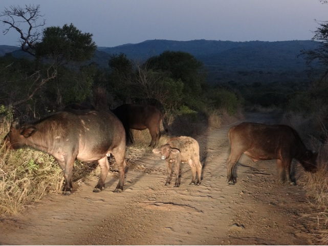 Buffalo at Dusk on our Durban Big 5 Honeymoon Private 3 Day Safari Tour to Hluhluwe Imfolozi Game Reserve 11th to 13th July 2014