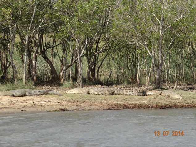 Crocodiles at St Lucia on our Durban Big 5 Honeymoon Private 3 Day Safari Tour to Hluhluwe Imfolozi Game Reserve 11th to 13th July 2014