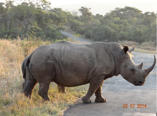 Day 1 on our Durban Safari, White Rhino Crosses road