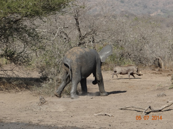 Durban Day Safari Tour to Hluhluwe Imfolozi Game reserve, Elephant chases Warthog from mud wallow 5 July 2014