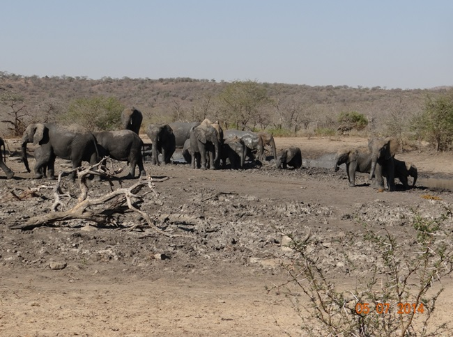 Durban Day Safari Tour to Hluhluwe Imfolozi Game reserve, Herd of Elephant at mud wallow 5 July 2014