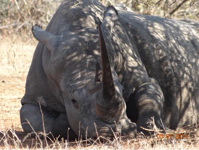 Durban Day Safari Tour to Hluhluwe Imfolozi Game reserve, White Rhino 5 July 2014