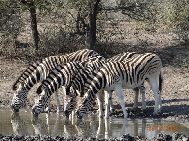 Durban Safari, Dazzle of Zebra drink together in Umfolozi