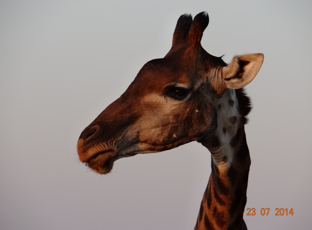 Durban Safaris, Giraffe posing in Hluhluwe Imfolozi game reserve