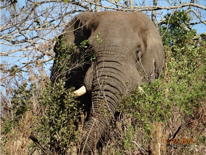 Elephant on our Durban Big 5 Honeymoon Private 3 Day Safari Tour to Hluhluwe Imfolozi Game Reserve 11th to 13th July 2014