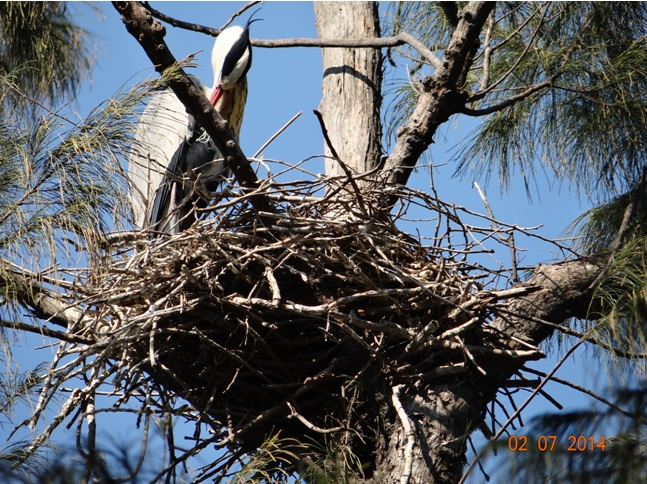 Grey Heron on nest at the Botanical Gardens on our Durban City Tour 2 July 2014