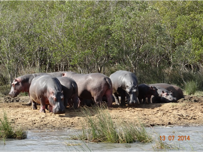 Hippos at St Lucia on our Durban Big 5 Honeymoon Private 3 Day Safari Tour to Hluhluwe Imfolozi Game Reserve 11th to 13th July 2014