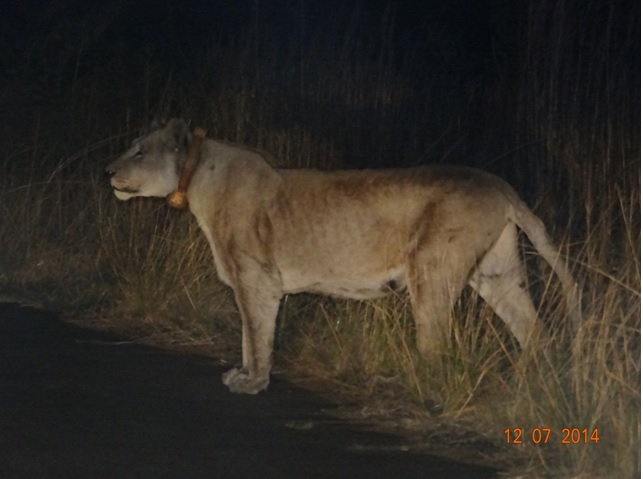 Lioness on our Durban Big 5 Honeymoon Private 3 Day Safari Tour to Hluhluwe Imfolozi Game Reserve 11th to 13th July 2014
