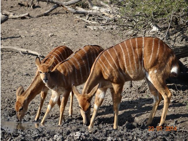 Nyalas Drinking on our Durban 3 Day Safari