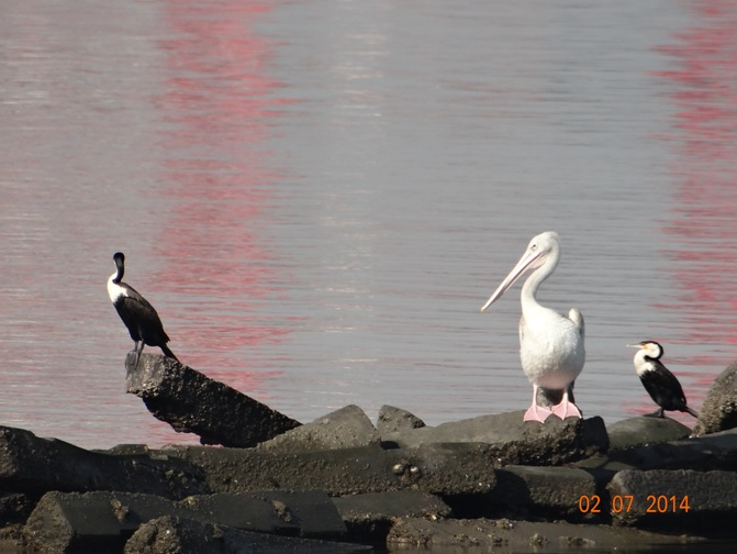 Pelican and Cormarants resting at Wilsons Warf Durban on our Durban City Tour 2 July 2014