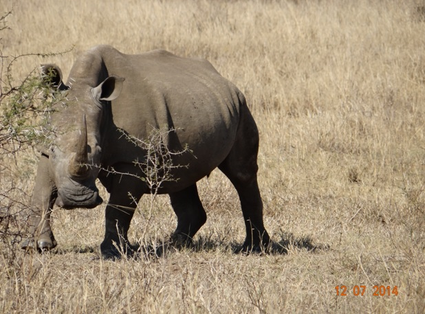 Rhino poses on our Durban Big 5 Honeymoon Private 3 Day Safari Tour to Hluhluwe Imfolozi Game Reserve 11th to 13th July 2014