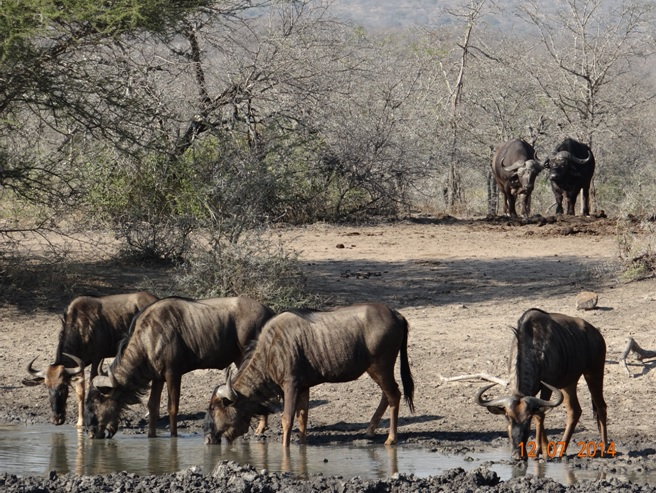Wildebeest and Buffalo on our Durban Big 5 Honeymoon Private 3 Day Safari Tour to Hluhluwe Imfolozi Game Reserve 11th to 13th July 2014
