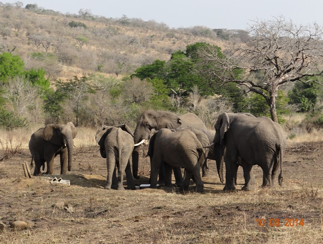 6 Bull Elephants congregate at a water point during our Durban Day Safari
