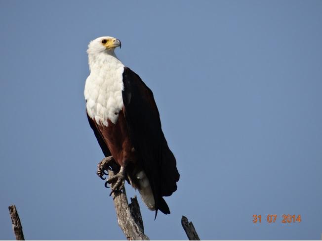 African Fish Eagle perched at St Lucia Estuary on our Durban Safari Tour