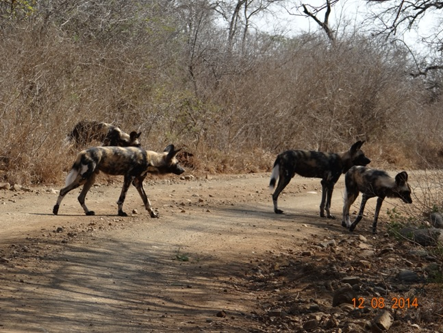 African Wild Dogs cross the road in front of our Safari vehicle on our Durban Safari