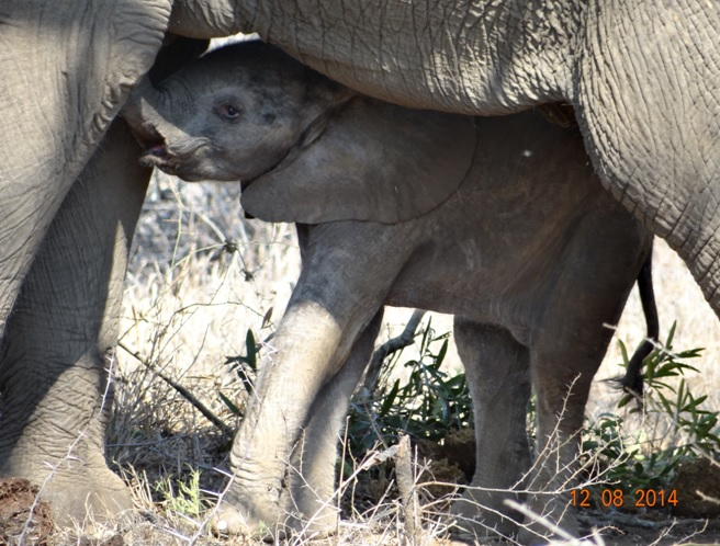 Baby Elephant tried to suckle on our Durban day Safari experience