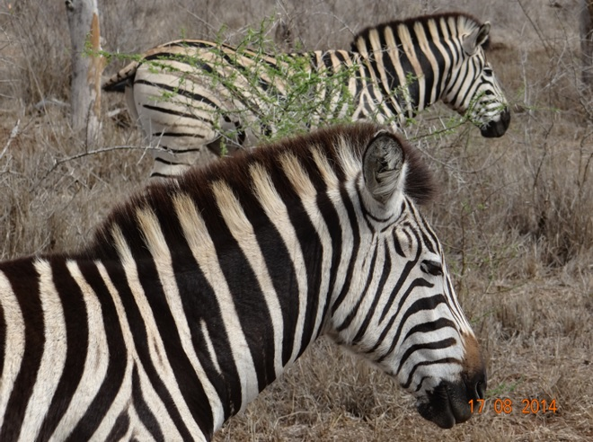 Big 5 Day Safari from Durban, Zebra poses for us