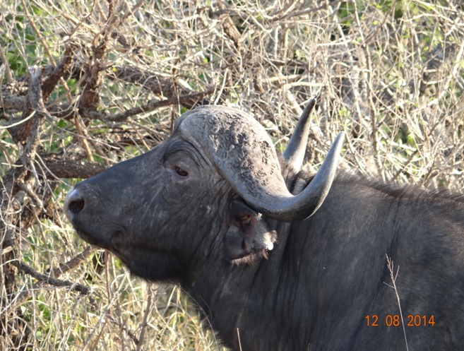 Buffalo bull on our Durban day Safari to Hluhluwe Imfolozi game reserve
